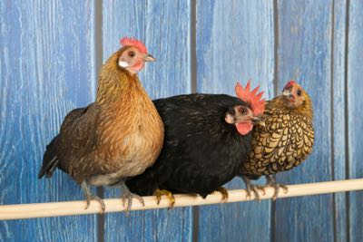 Row chickens in blue henhouse on stick